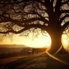çınar ağacı hakkında bilgi
