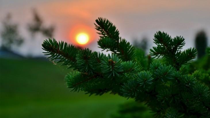 çam ağacı hakkında bilgi