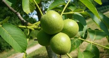 ceviz ağacı kaç kilo verir
