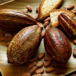 kakao ağacı nerede yetişir