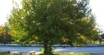 çınar ağacı özellikleri