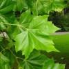 çınar ağacının faydaları nelerdir