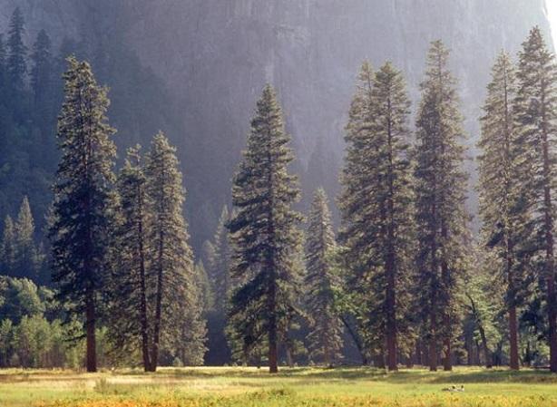 Çam Ağacı Nasıl Dikilir