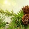 çam ağacı hastalıkları
