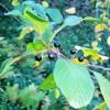 barut ağacı kabuğu faydaları
