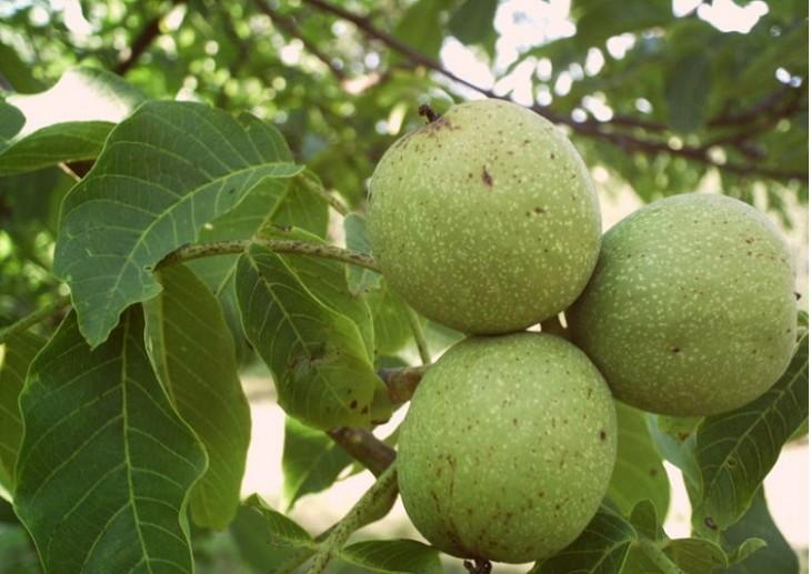 ceviz ağacı hastalıkları