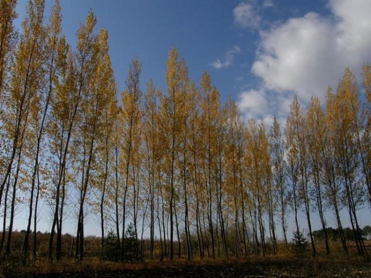 kavak ağacı özellikleri