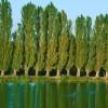 kavak ağacı hakkında bilgi