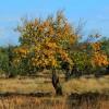 Kayısı Ağacı Nasıl Budanır?