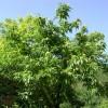 kestane ağacı nerede yetişir