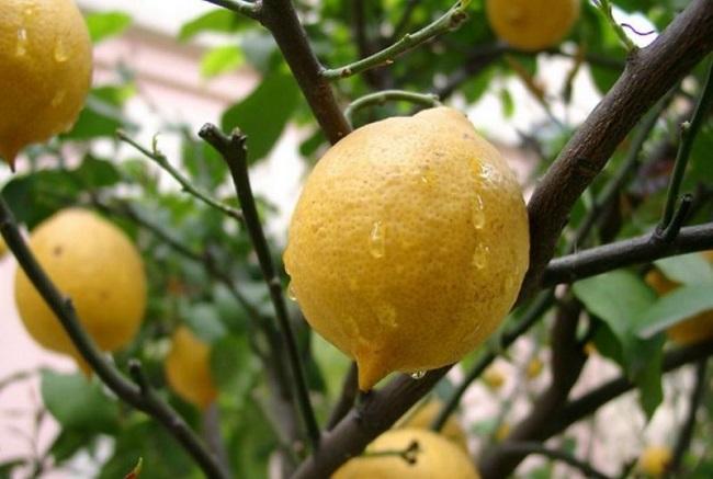 limon ağacı hastalıkları