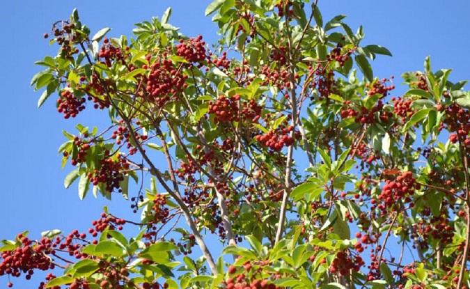sandal ağacı yağı faydaları