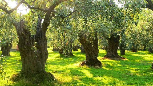 zeytin ağaçlarında görülen hastalıklar