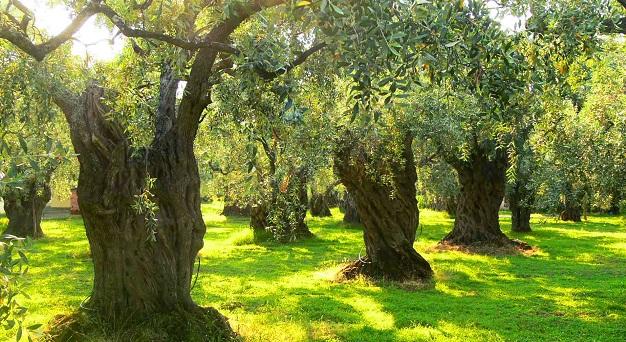 zeytin ağacı nasıl budanır