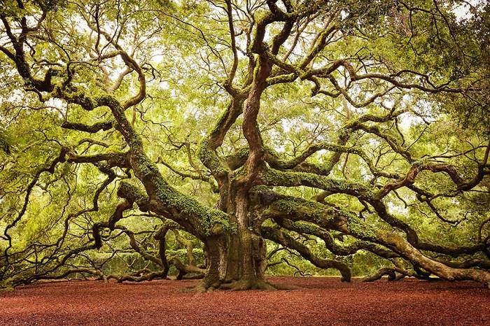 meşe ağacı özellikleri