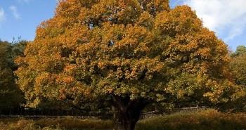 meşe ağacı hakkında bilgi