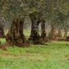 zeytin ağacı hakkında bilgi