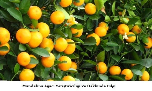 Mandalina-Agaci-Yetistiriciligi-Hakkinda-Bilgi