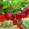 elma-agaci-ve-yetistiriciligi-hakkinda-bilgi