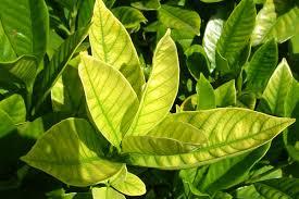 limon-agaci-yapraklarinda-sararma-ve-dokulmelerin-nedenleri