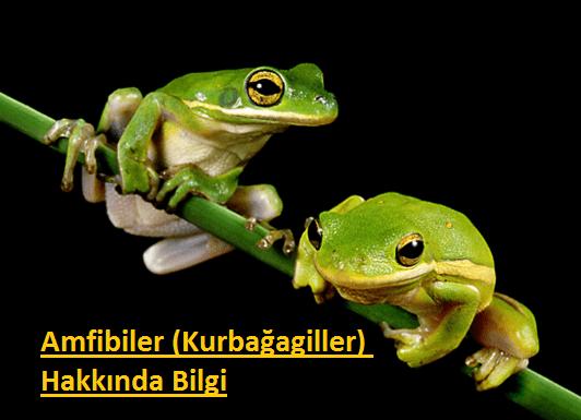 Amfibiler-Kurbagagiller-Hakkinda-Bilgi