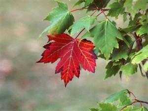kırmızı çınar yaprağı