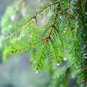 muhteşem çam ağacı